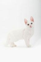 立っている仔猫 02322005413| 写真素材・ストックフォト・画像・イラスト素材|アマナイメージズ