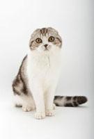 座って見つめている猫 02322005460| 写真素材・ストックフォト・画像・イラスト素材|アマナイメージズ
