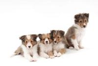 仔犬4頭 02322005490| 写真素材・ストックフォト・画像・イラスト素材|アマナイメージズ