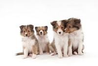 仔犬4頭 02322005491| 写真素材・ストックフォト・画像・イラスト素材|アマナイメージズ