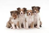 仔犬4頭 02322005492| 写真素材・ストックフォト・画像・イラスト素材|アマナイメージズ