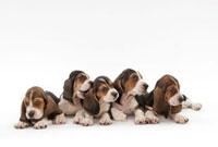 仔犬5頭 02322005493| 写真素材・ストックフォト・画像・イラスト素材|アマナイメージズ