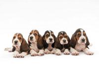仔犬5頭 02322005494| 写真素材・ストックフォト・画像・イラスト素材|アマナイメージズ
