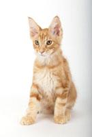 座っている仔猫 02322005505| 写真素材・ストックフォト・画像・イラスト素材|アマナイメージズ