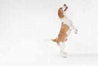 前足をあげて立っている犬
