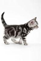 歩いている仔猫 02322005643| 写真素材・ストックフォト・画像・イラスト素材|アマナイメージズ