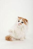 座って右前足を上げている猫 02322005700| 写真素材・ストックフォト・画像・イラスト素材|アマナイメージズ