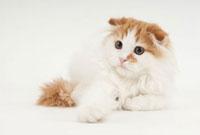伏せている猫 02322005701| 写真素材・ストックフォト・画像・イラスト素材|アマナイメージズ