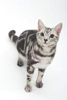 座って上を見上げている猫 02322005805| 写真素材・ストックフォト・画像・イラスト素材|アマナイメージズ