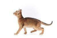 歩いている仔猫 02322005977| 写真素材・ストックフォト・画像・イラスト素材|アマナイメージズ