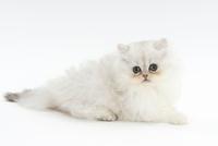横を向いて伏せている仔猫 02322006269| 写真素材・ストックフォト・画像・イラスト素材|アマナイメージズ