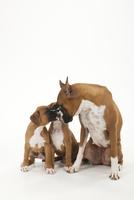 犬の親子 02322006511| 写真素材・ストックフォト・画像・イラスト素材|アマナイメージズ