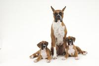 犬の親子 02322006552| 写真素材・ストックフォト・画像・イラスト素材|アマナイメージズ