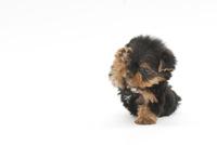 前足を上げている仔犬 02322006847| 写真素材・ストックフォト・画像・イラスト素材|アマナイメージズ