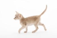歩いている仔猫 02322006927| 写真素材・ストックフォト・画像・イラスト素材|アマナイメージズ