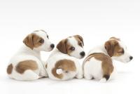 3頭の仔犬 02322007210| 写真素材・ストックフォト・画像・イラスト素材|アマナイメージズ