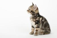 座っている仔猫 02322007376| 写真素材・ストックフォト・画像・イラスト素材|アマナイメージズ