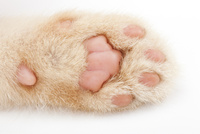 仔猫の肉球のアップ 02322007565  写真素材・ストックフォト・画像・イラスト素材 アマナイメージズ