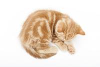 寝ている仔猫 02322007592| 写真素材・ストックフォト・画像・イラスト素材|アマナイメージズ