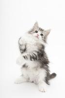 座って前足を上げている仔猫