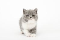 歩いている仔猫 02322007842| 写真素材・ストックフォト・画像・イラスト素材|アマナイメージズ