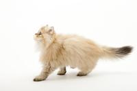 歩いている仔猫 02322008105| 写真素材・ストックフォト・画像・イラスト素材|アマナイメージズ