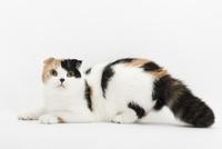 伏せている猫 02322008115| 写真素材・ストックフォト・画像・イラスト素材|アマナイメージズ