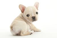お座りをして振り向いている仔犬 02322008341| 写真素材・ストックフォト・画像・イラスト素材|アマナイメージズ