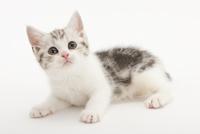 伏せている仔猫 02322008478| 写真素材・ストックフォト・画像・イラスト素材|アマナイメージズ