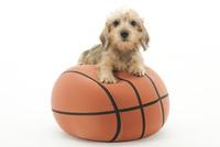 ボールであそぶ仔犬