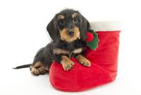クリスマスブーツと仔犬