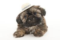 帽子を被った仔犬