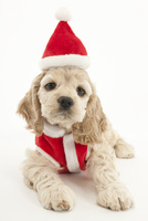 サンタの恰好をした仔犬