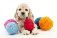 毛糸玉で遊ぶ仔犬