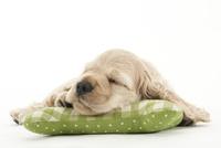 クッションで寝ている仔犬