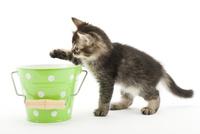 バケツと仔猫 02322009056| 写真素材・ストックフォト・画像・イラスト素材|アマナイメージズ