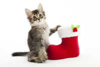 クリスマスブーツと仔猫 02322009060| 写真素材・ストックフォト・画像・イラスト素材|アマナイメージズ