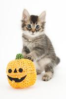 かぼちゃと仔猫 02322009063| 写真素材・ストックフォト・画像・イラスト素材|アマナイメージズ