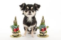 門松と仔犬 02322009108| 写真素材・ストックフォト・画像・イラスト素材|アマナイメージズ
