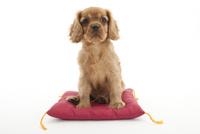 座布団に座る仔犬