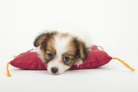 座布団と仔犬