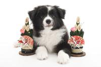 門松と仔犬 02322009180| 写真素材・ストックフォト・画像・イラスト素材|アマナイメージズ