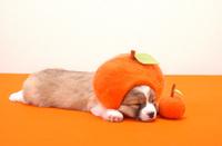 みかんと寝ている仔犬