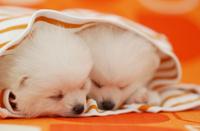服の中で寝ている2匹の仔犬