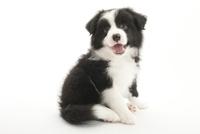 口をあけて笑う仔犬 02322009416| 写真素材・ストックフォト・画像・イラスト素材|アマナイメージズ