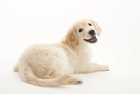 笑いながら振り返る仔犬 02322009419| 写真素材・ストックフォト・画像・イラスト素材|アマナイメージズ