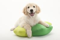 口をあけて笑う仔犬 02322009422| 写真素材・ストックフォト・画像・イラスト素材|アマナイメージズ