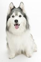 口をあけて笑う仔犬 02322009453| 写真素材・ストックフォト・画像・イラスト素材|アマナイメージズ