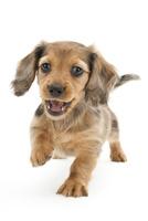 笑顔で走り出す仔犬 02322009458| 写真素材・ストックフォト・画像・イラスト素材|アマナイメージズ