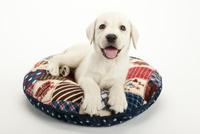 口をあけて笑う仔犬 02322009492| 写真素材・ストックフォト・画像・イラスト素材|アマナイメージズ